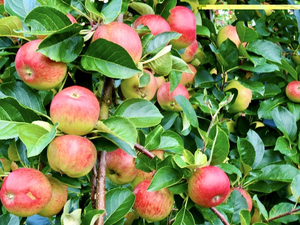 Ripe apples ready for harvest